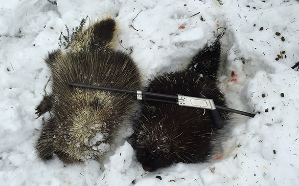 Porcupines Shot with Pack Rifle. Customer submitted photo.